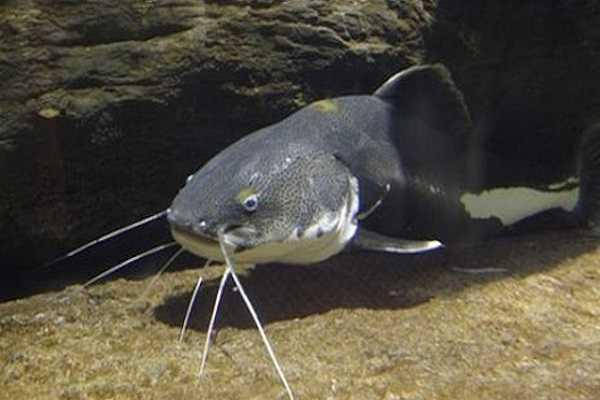 Điềm báo trong giấc mơ thấy cá trê