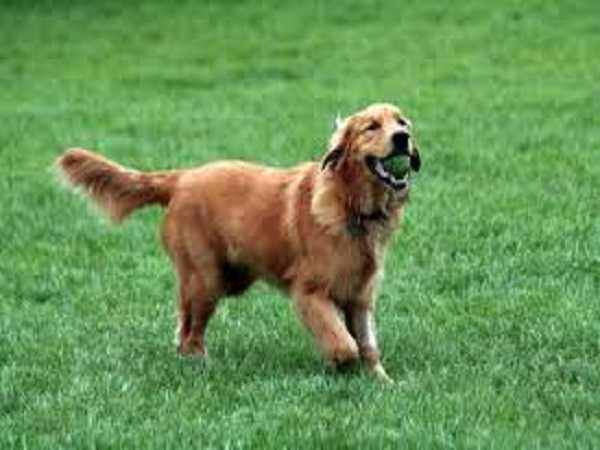 Mơ thấy chó vàng nên đánh số gì?