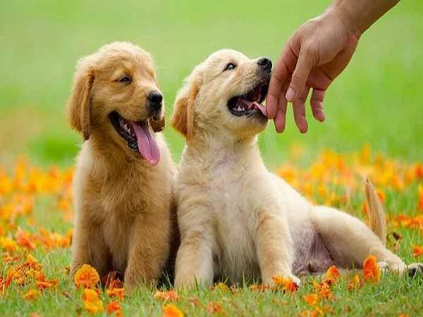 Điềm báo trong giấc mơ thấy chó vàng
