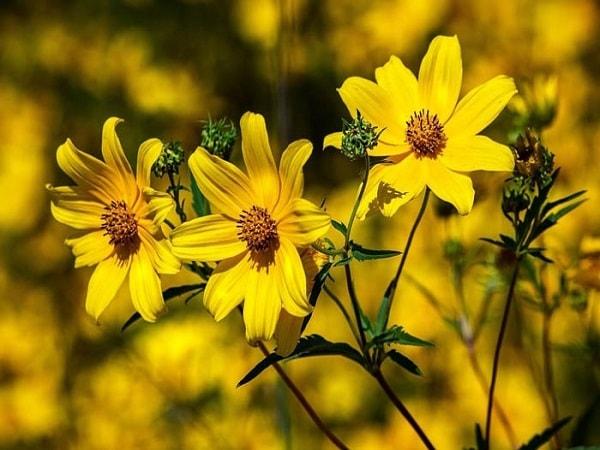Mơ thấy hoa màu vàng nên đánh con số nào?