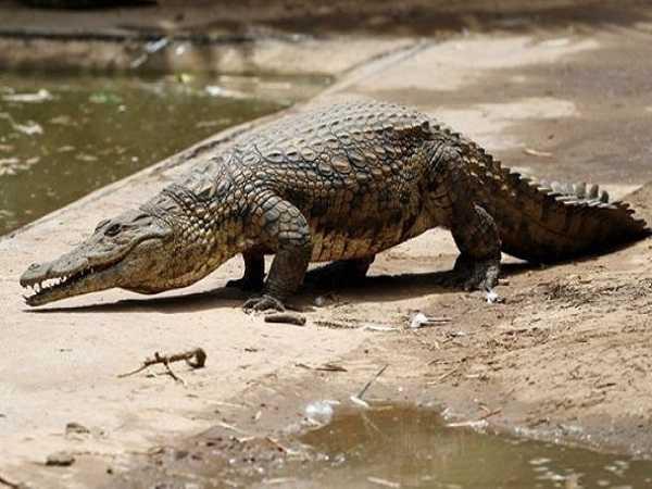 Mơ thấy cá sấu nên đánh con số nào?