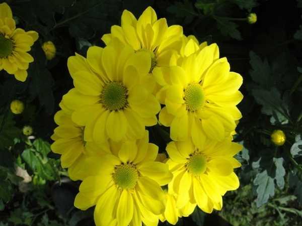 Mơ thấy hoa cúc đánh số gì?
