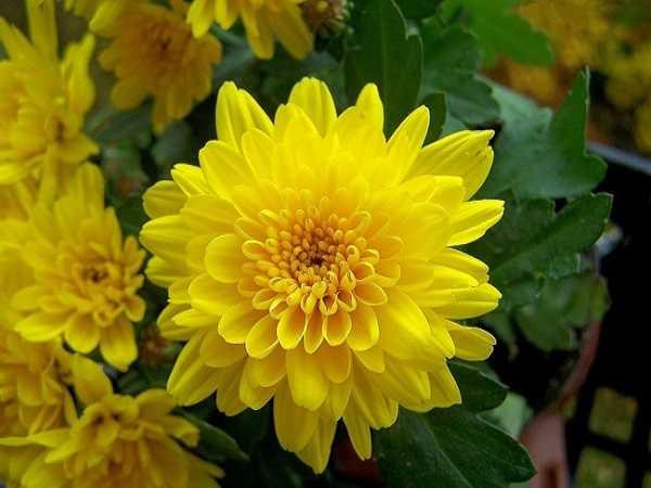 Điềm báo trong giấc mơ thấy hoa cúc