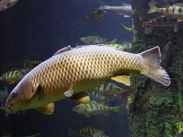 Điềm báo trong giấc mơ thấy cá chép