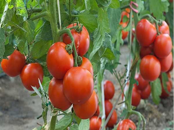 Mơ thấy cà chua nên đánh cặp số nào?