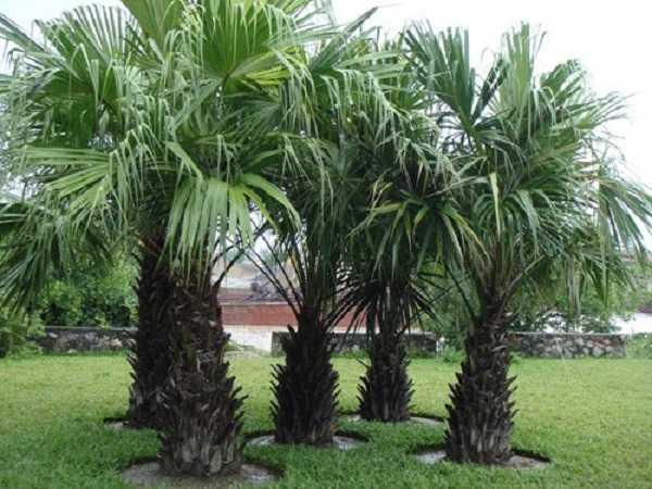 Mơ thấy cây dừa có ý nghĩa như thế nào