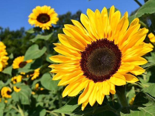 Mơ thấy hoa hướng dương điềm báo lành hay dữ?