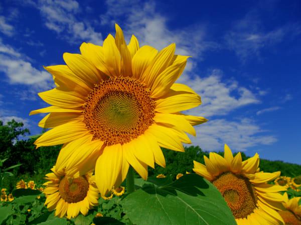 Mơ thấy hoa hướng dương đánh con gì?