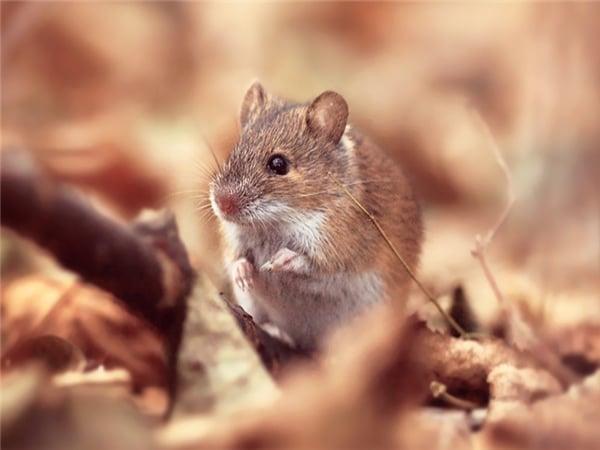 Mơ thấy con chuột đánh con gì?