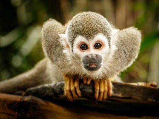 Ngủ mơ thấy khỉ đánh số đề con gì ? là điềm hên hay xui ?